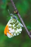 Orange Tip (Anthocharis cardamines) butterfly on a branch, G