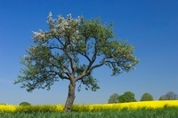 Oil Seed Rape (Brassica napus) and blossoming tree, Germany