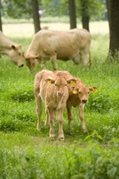 Domestic Cattle (Bos taurus) young, Limburg, Netherlands