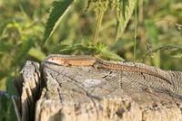 Viviparous Lizard (Lacerta vivipara) female sunbathing, Gulp