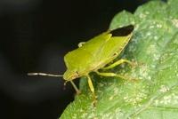 Green Shield Bug (Palomena prasina), Den Helder, Noord-Holla 01543035431| 写真素材・ストックフォト・画像・イラスト素材|アマナイメージズ