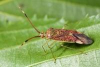 Bug (Pantilius tunicatus), Gulpen, Limburg, Netherlands 01543035437| 写真素材・ストックフォト・画像・イラスト素材|アマナイメージズ