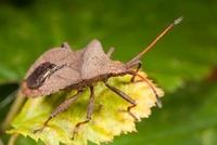 Squash Bug (Coreus marginatus), Bissen, Limburg, Netherlands 01543035442| 写真素材・ストックフォト・画像・イラスト素材|アマナイメージズ