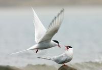 Arctic Tern (Sterna paradisaea) male feeding fish to female