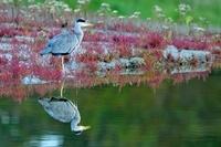 Grey Heron (Ardea cinerea), Zeeland, Netherlands