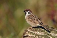 Eurasian Tree Sparrow (Passer montanus), Utrecht, Netherland 01543035655| 写真素材・ストックフォト・画像・イラスト素材|アマナイメージズ