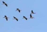 Common Crane (Grus grus) flock flying, Germany