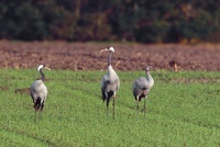 Common Crane (Grus grus) family, Germany