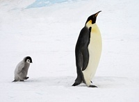 Emperor Penguin (Aptenodytes forsteri) with chick, Antarctic