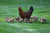 Domestic Chicken (Gallus domesticus) hen with eighteen chick