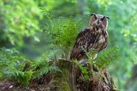 Eurasian Eagle-Owl (Bubo bubo), Netherlands