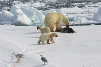 Polar Bear (Ursus maritimus) with cubs eating seal, Svalbard