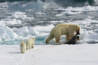 Polar Bear (Ursus maritimus) with cubs dragging a dead seal,