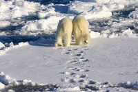 Polar Bear (Ursus maritimus) pair walking over ice floe, Sva