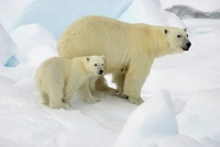 Polar Bear (Ursus maritimus) with cub, Svalbard, Norway