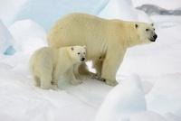 Polar Bear (Ursus maritimus) with cub, Svalbard, Norway 01543035808| 写真素材・ストックフォト・画像・イラスト素材|アマナイメージズ