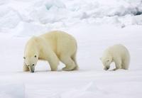 Polar Bear (Ursus maritimus) with cub, Svalbard, Norway