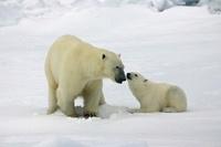 Polar Bear (Ursus maritimus) with cub hunting for prey under