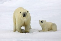 Polar Bear (Ursus maritimus) with cub hunting for prey under