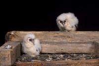 Barn Owl (Tyto alba) chicks, Netherlands