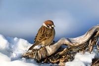 Eurasian Tree Sparrow (Passer montanus), Hokkaido, Japan