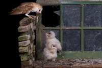Barn Owl (Tyto alba) feeding its chicks a mouse, Netherlands
