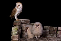 Barn Owl (Tyto alba) and chicks, Netherlands