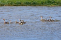 Greylag Goose (Anser anser) parents swimming with chicks, Te