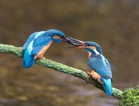 Common Kingfisher (Alcedo atthis) male presenting a fish to