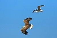 White-tailed Eagle (Haliaeetus albicilla) and Great Black-ba