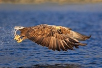White-tailed Eagle (Haliaeetus albicilla) flying with fish i