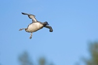 Red-throated Loon (Gavia stellata) flying with a fish in its