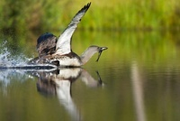 Red-throated Loon (Gavia stellata) with a caught fish, Swede