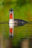 Red-throated Loon (Gavia stellata) on the water, Sweden