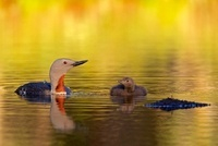 Red-throated Loon (Gavia stellata) with chick, Sweden