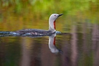 Red-throated Loon (Gavia stellata) swimming, Sweden