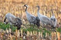 Common Crane (Grus grus) family resting on farmland during m