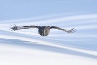Great Gray Owl (Strix nebulosa) flying, Finland
