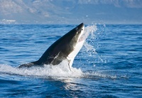 Great White Shark (Carcharodon carcharias) leaping out of wa