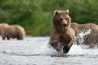 Brown Bear (Ursus arctos) fishing for salmon, Katmai Nationa