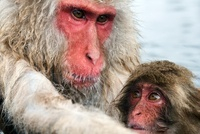 Japanese Macaque (Macaca fuscata) mother with baby, Jigokuda