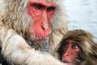 Japanese Macaque (Macaca fuscata) mother with baby, Jigokuda