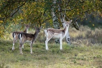 Fallow Deer (Dama dama) doe and fawns, Netherlands