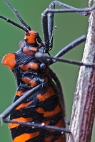 Assassin Bug (Heza sp) with aposematic coloration, Andes, Ec