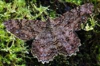 Looper Moth (Geometridae), Andes, Ecuador