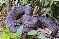Ecuadorian Toad-headed Pit-viper (Bothrocophias campbelli),