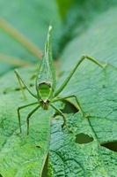 Katydid (Tettigoniidae), Andes, Ecuador
