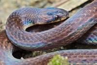 Ground Snake (Atractus sp), Andes, Ecuador