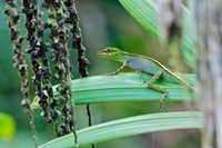 O'Shaughnessy's Anole (Anolis gemmosus) female, Andes, Ecuad