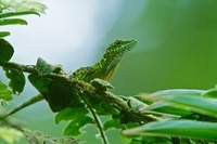 O'Shaughnessy's Anole (Anolis gemmosus) male, Andes, Ecuador